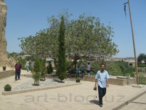 Фисташковое дерево. Самарканд